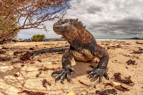 8-Meerechse_auf_Galapagos